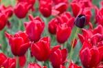 Fête de la tulipe à Morges  2015_05_30__150_22
